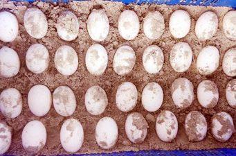 বিলুপ্তপ্রায় 'বাটাগুর বাচকা' কচ্ছপ দিল ৩৫ ডিম