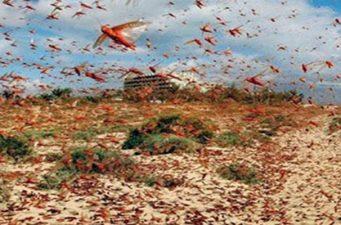 এবার পঙ্গপালের উপদ্রব দেখা দিয়েছে শ্রীলঙ্কায়