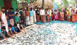 নাটোরে সিংড়ায় মসজিদের পুকুরে বিষ দিয়ে মাছ নিধন